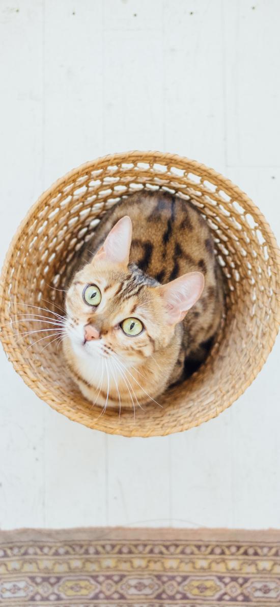 猫咪 宠物  竹筐 仰头