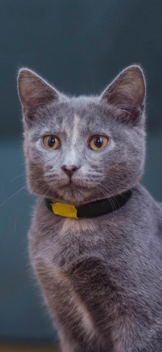 宠物猫 喵星人 灰色 大眼睛