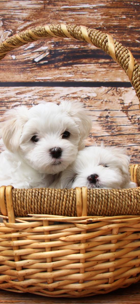 小狗 编织篮 奶狗 宠物