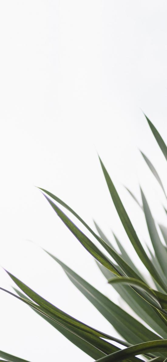 绿植 丝兰属 兰叶 盆栽
