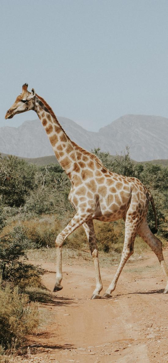 长颈鹿 动物 户外 自由