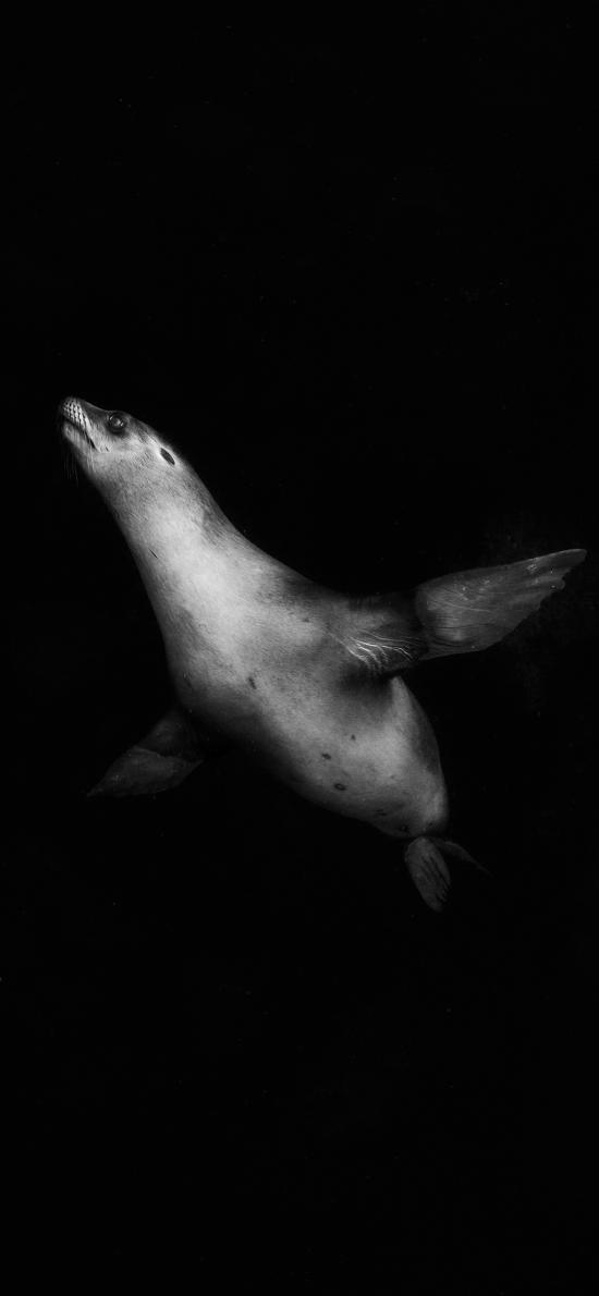 海豹 游泳 黑白 幼崽