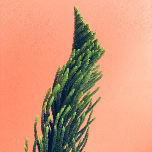 南洋杉 乔木 针叶林 树枝