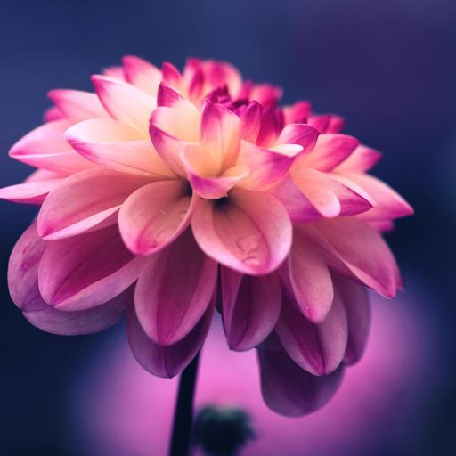 大丽花 鲜花 唯美 盛开