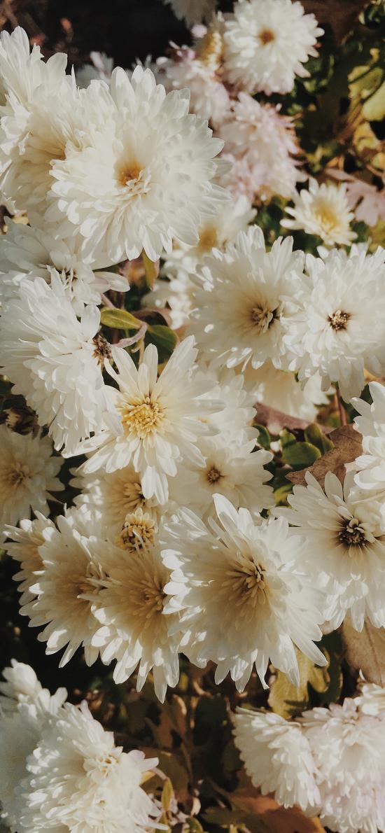 菊花 密集 鲜花 盛开 花瓣