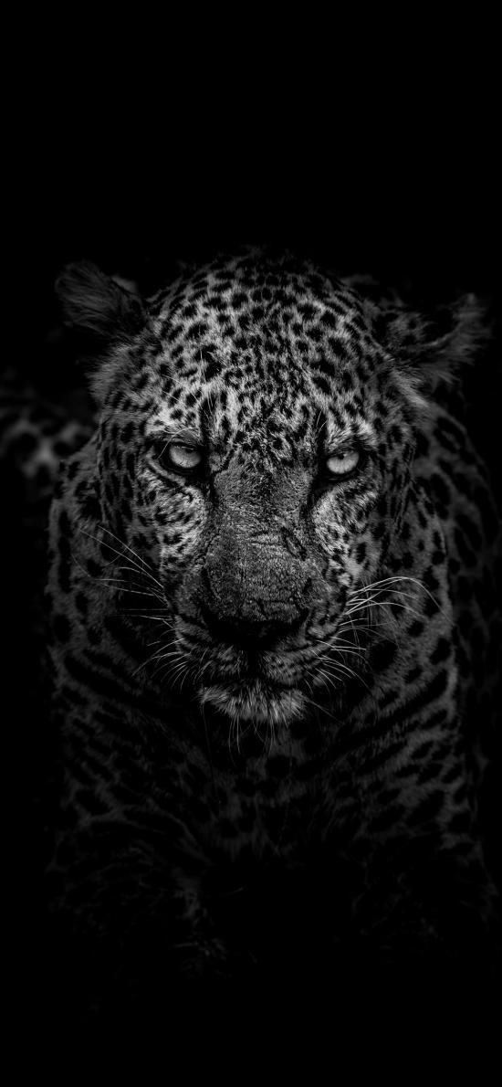 豹 猎豹 豹纹 特写 黑