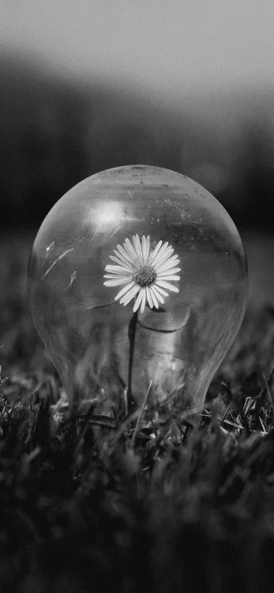 灯泡 菊花 草地 黑白