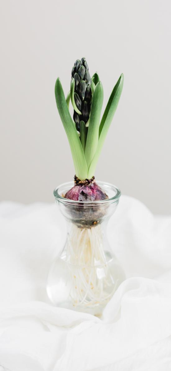 仙女 玻璃瓶  生根 花蕾