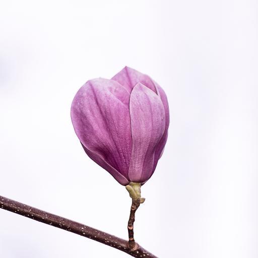 枝头 简约 含苞待放 鲜花