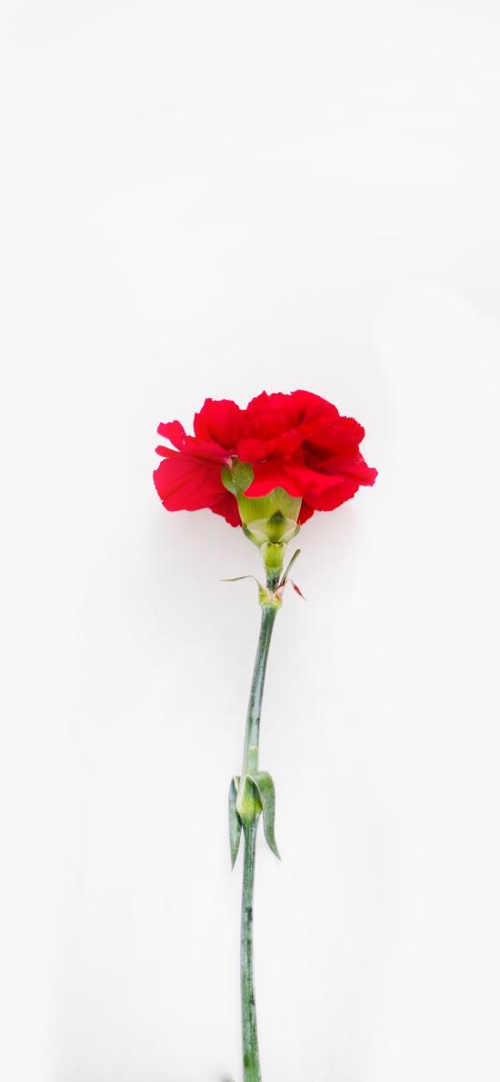 康乃馨 鲜花 盛开 花瓣