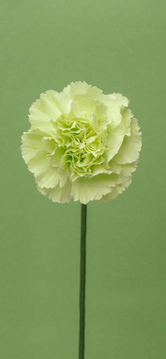 康乃馨 绿色 鲜花 盛开 唯美