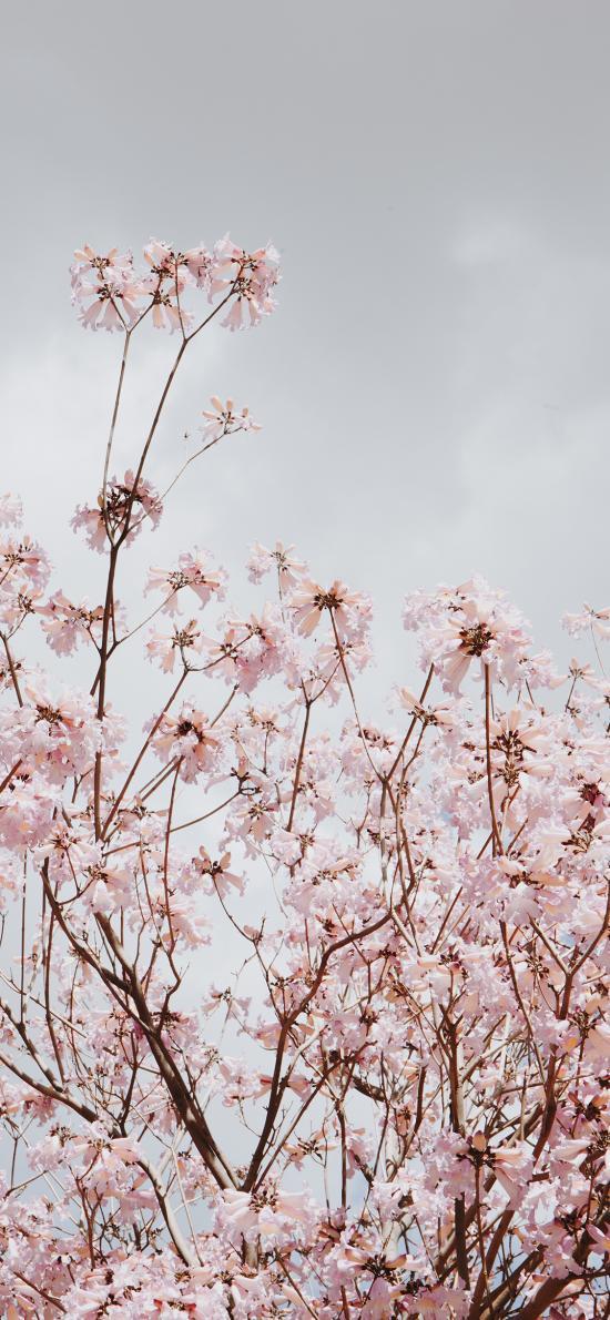 樱花 鲜花 盛开 枝头