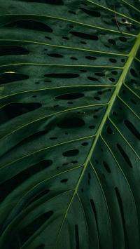 龟背竹 枝叶 绿植 绿叶