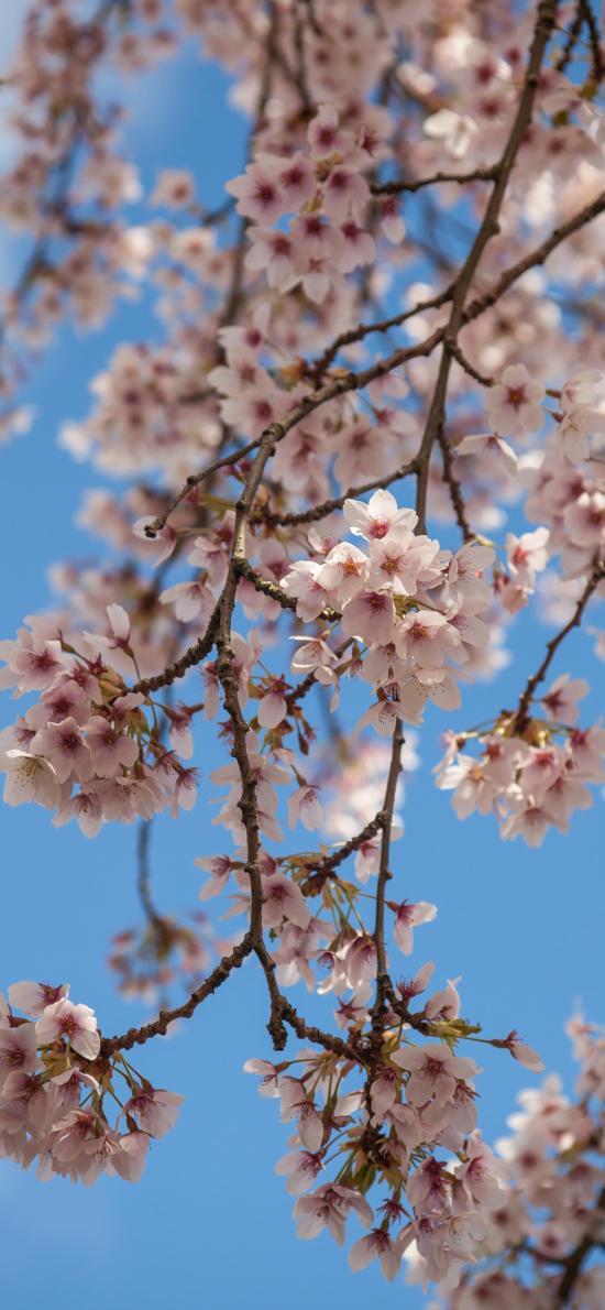 樱花 春天 枝干 鲜花