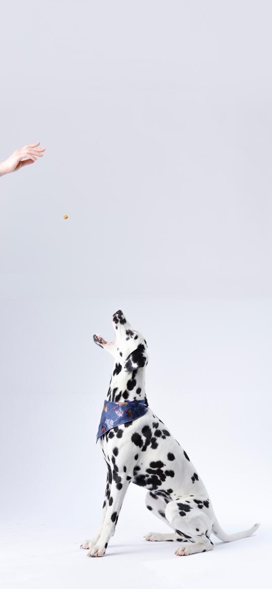 斑点狗 犬 宠物 汪星人
