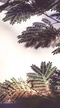 树木 象耳豆 绿植