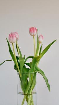 郁金香 鲜花 枝叶 花朵
