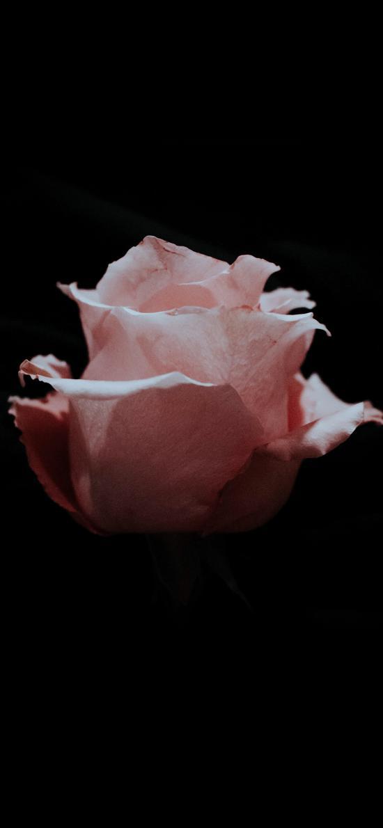鲜花 玫瑰 特写 花瓣