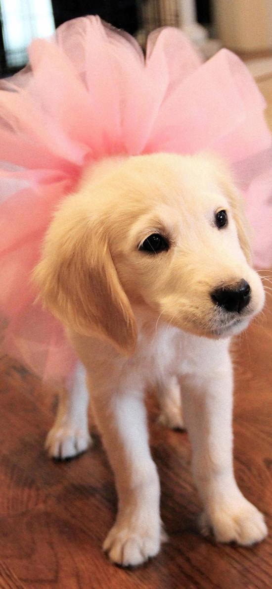宠物狗 汪星人 金毛犬 粉色 裙子