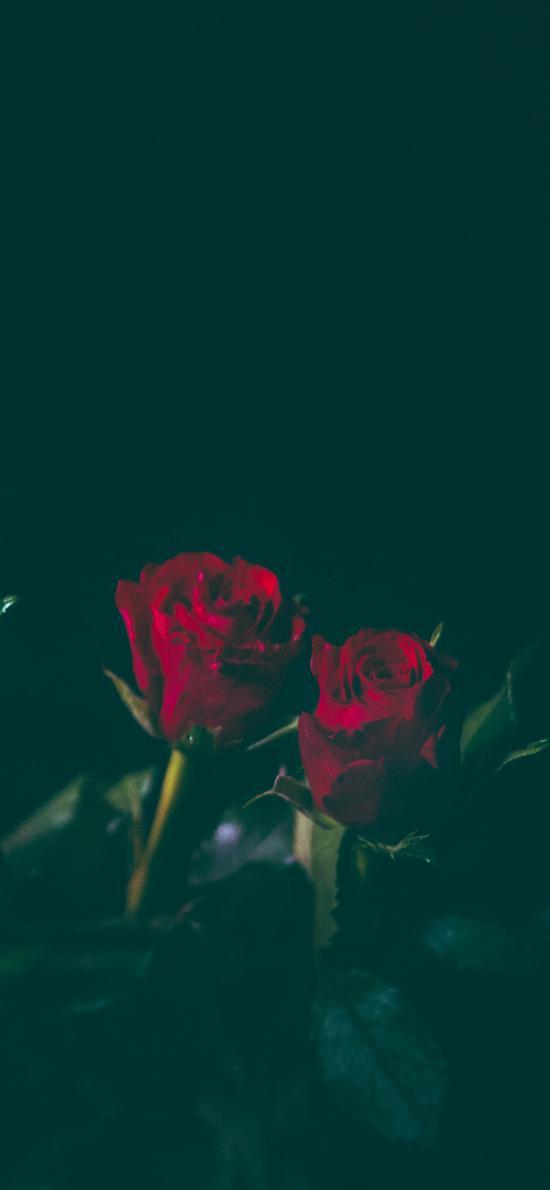 鲜花 玫瑰  花朵 枝叶