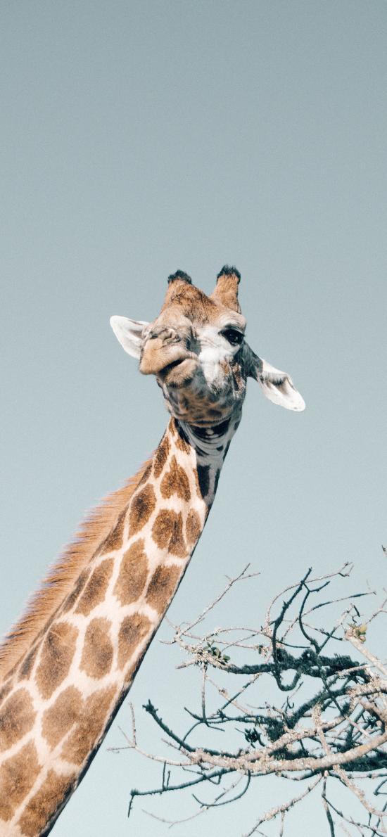 长颈鹿 头部 扭曲 脖子