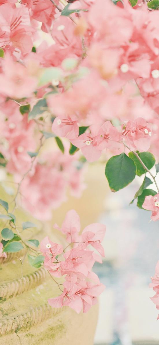勒杜鹃 粉色 三角梅 唯美 鲜花 枝叶
