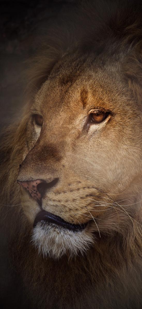 狮子 猛兽 森林之王