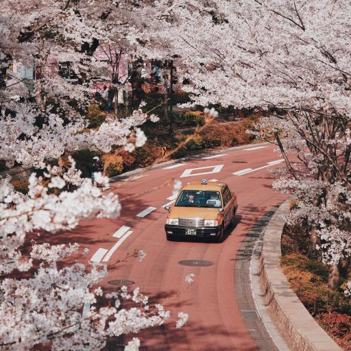 樱花 粉色 浪漫 道路 车辆