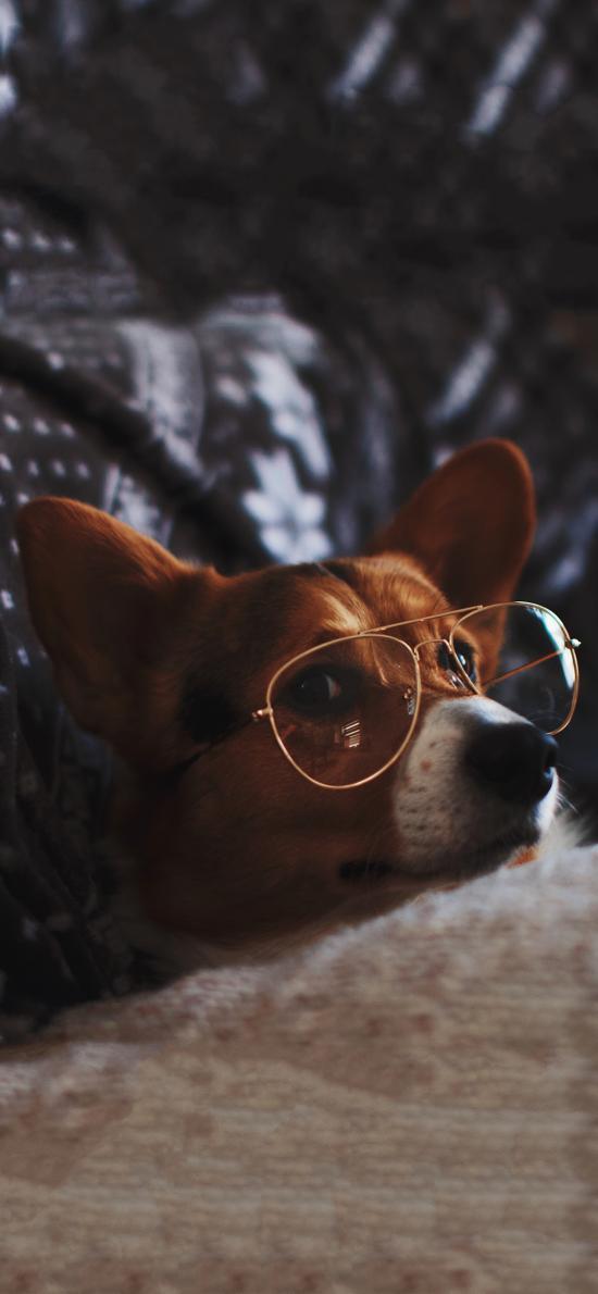 宠物狗 汪星人 柯基犬 眼镜
