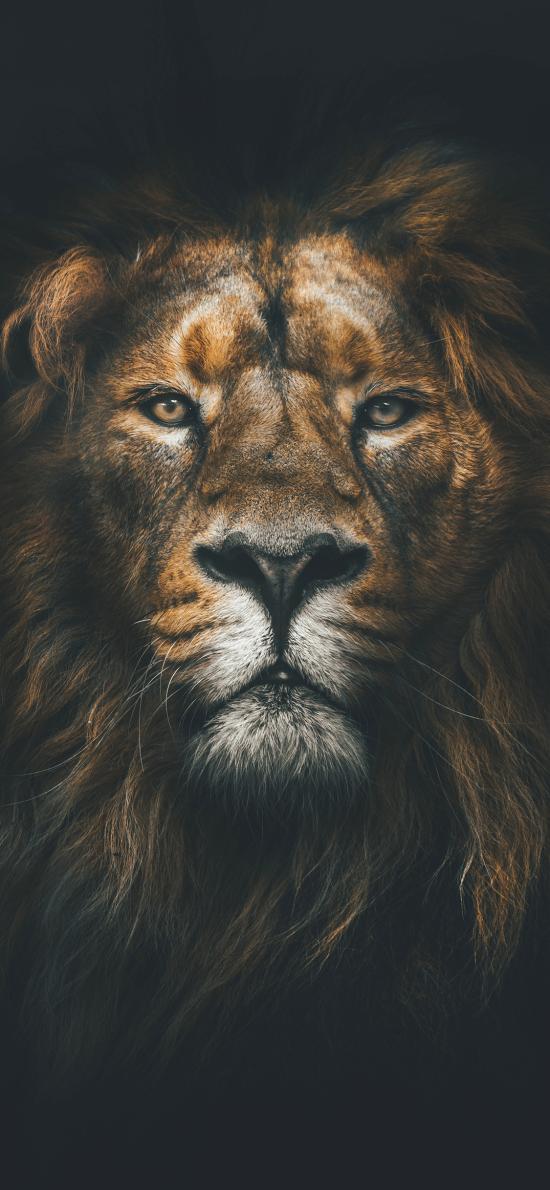 狮子 森林之王 特写 脸部