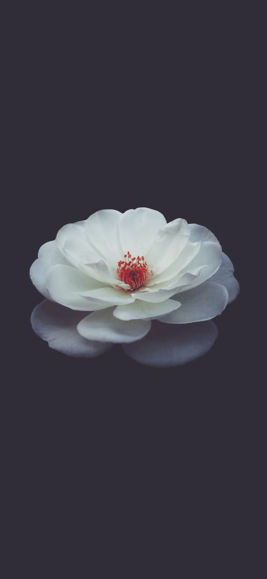 鲜花 花瓣 花蕊 加白