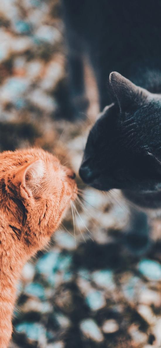 猫咪 宠物 可爱 亲吻