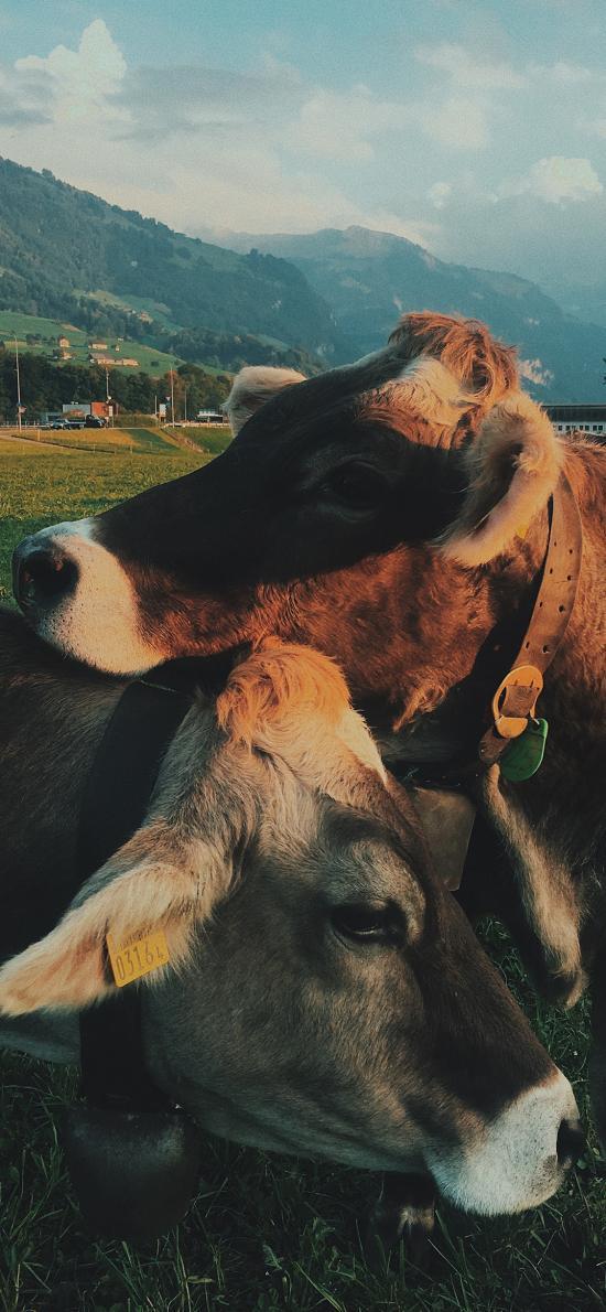牛 草地 饲养 牲畜