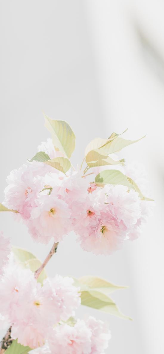 鲜花 盛开 粉嫩 枝叶 阳光 清新