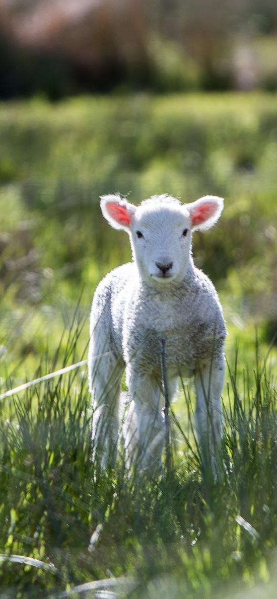 羊羔 草地 小羊 呆萌