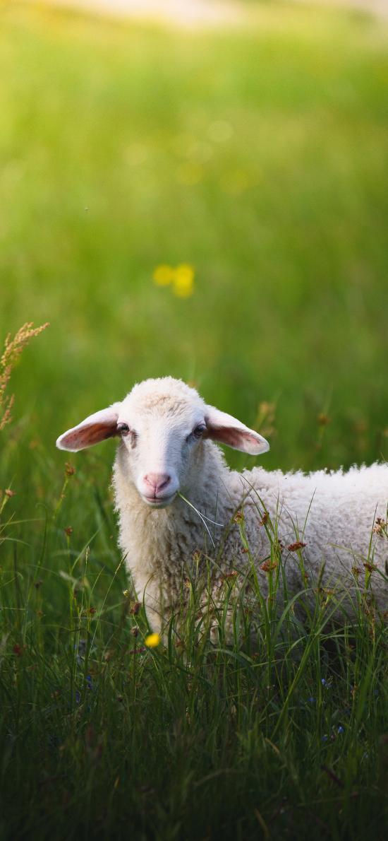 羊 草地 绵羊 放养