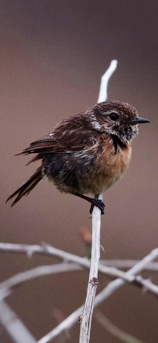 飞鸟 黑喉石鸟 棕色 栖息