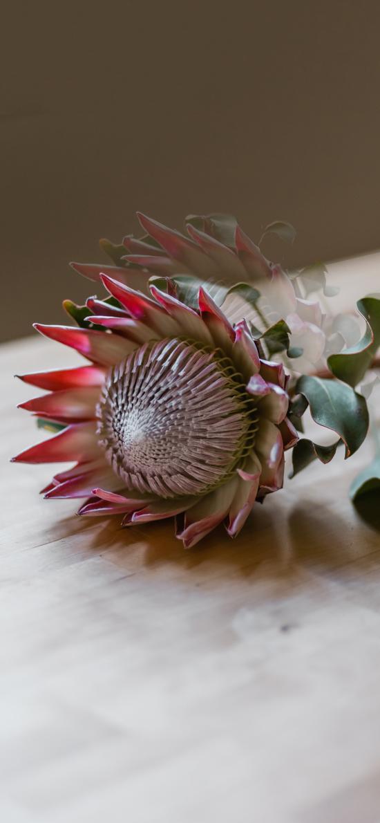 鲜花 帝王华 南非共和国 国花