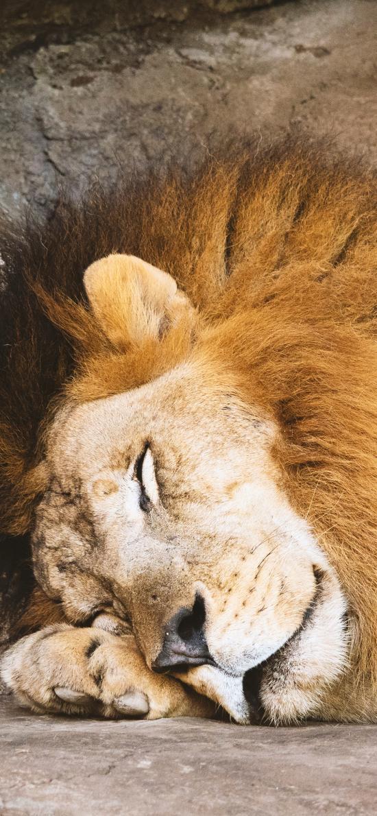 凶猛 休憩 狮子 森林之王