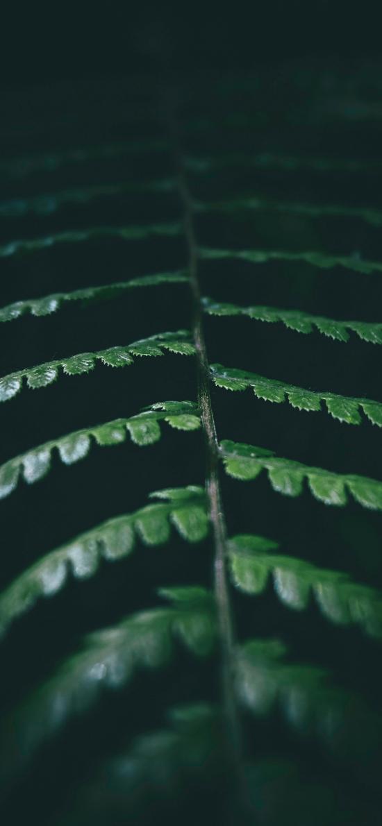 蕨类 蹄盖蕨 绿植 特写
