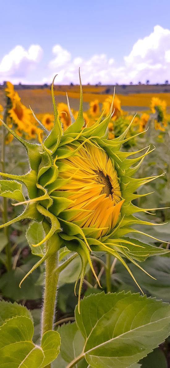 向日葵 鲜花 含苞待放 花海