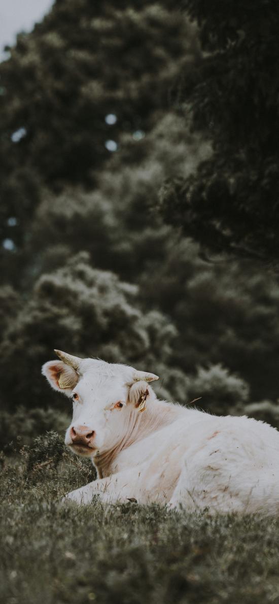牲畜 牛 草地 回头