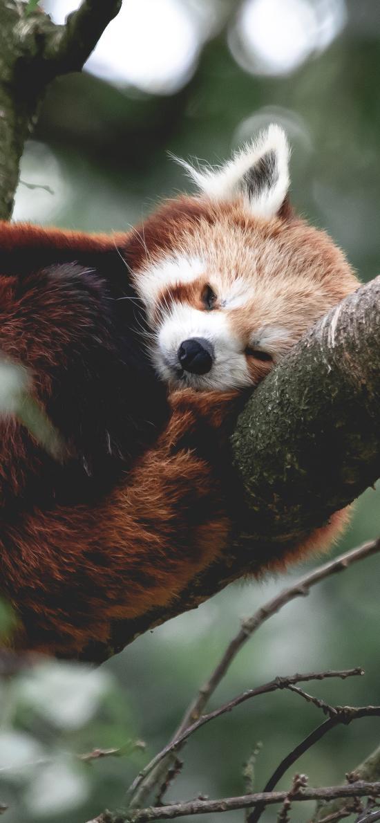 树干 小熊猫 枝叶 休息