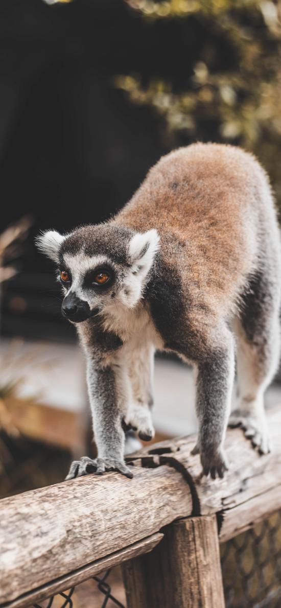 环尾狐猴 木桩 爬行 皮毛