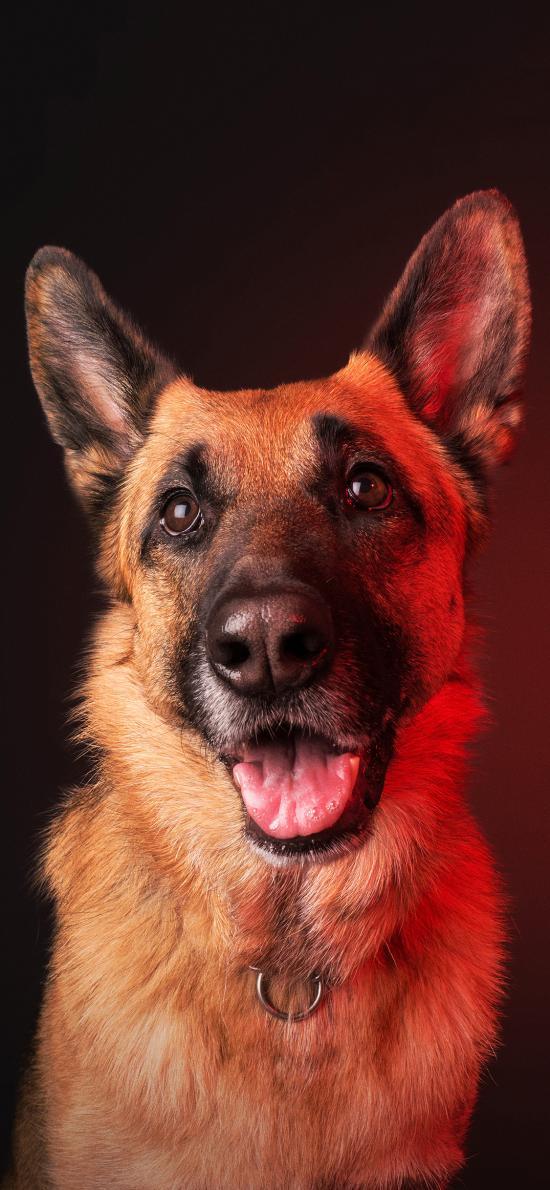 狼犬 宠物狗 帅气 竖耳 牧羊犬
