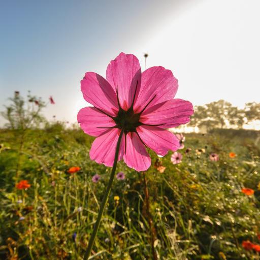 格桑花 鲜花 盛开 枚红色
