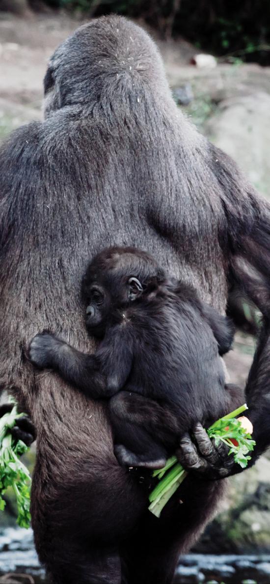 猩猩 背后 小猴子 后背