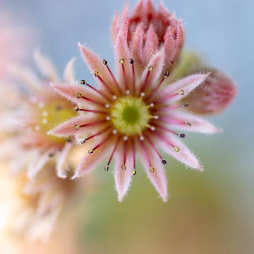 鲜花 紫红牡丹 绽放