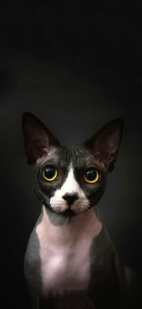 宠物猫 加拿大无毛猫 黑色