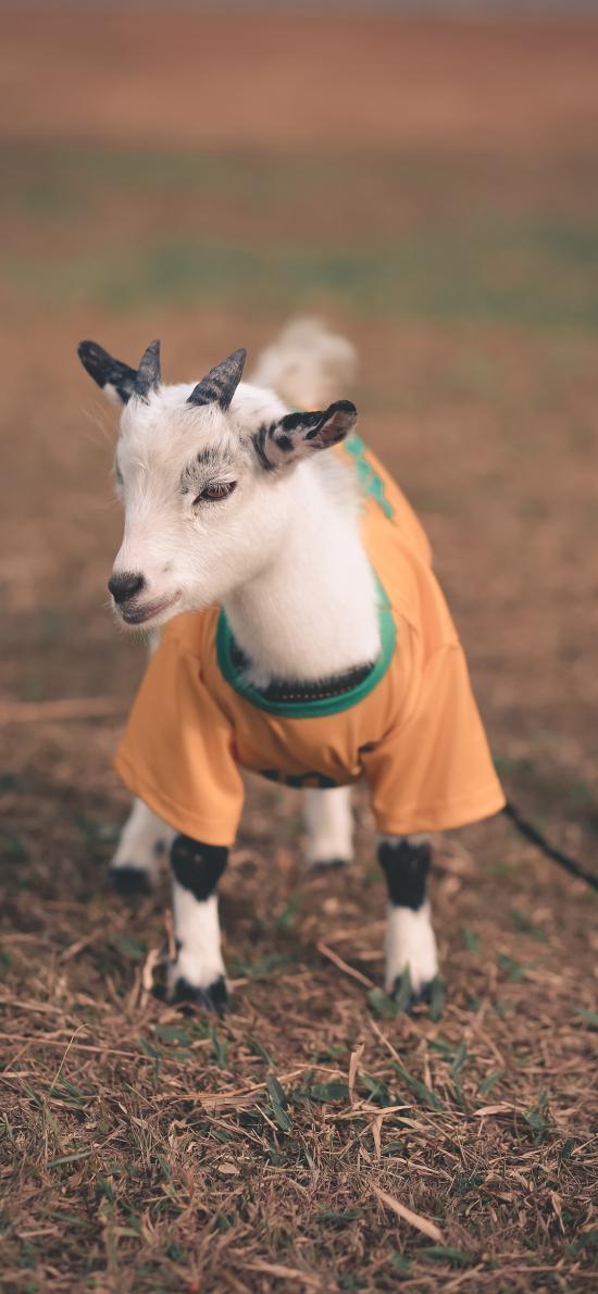 牲畜 小羊 可爱 羚羊